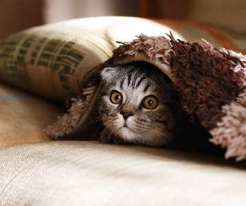 Cat looks out from hiding under a blanket